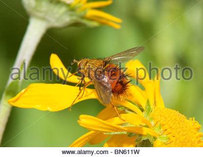 Tachinid Fly Diptera Tachinidae 'New Mexico' - Stock Photo