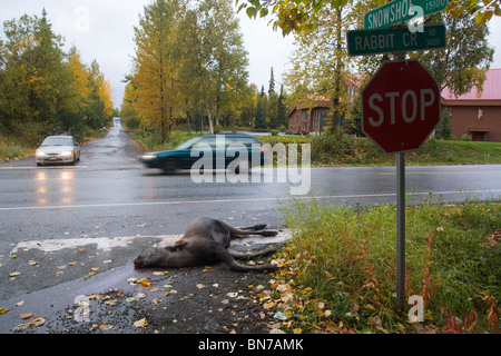 Calf moose, killed along Rabbit Creek Road, lying on the side of the road as traffic passes by, Anchorage, Alaska - Stock Photo