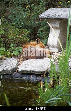 Red Fox, Vulpes Vulpes, curled up to sleep alongside fish pond in urban garden - Stock Photo