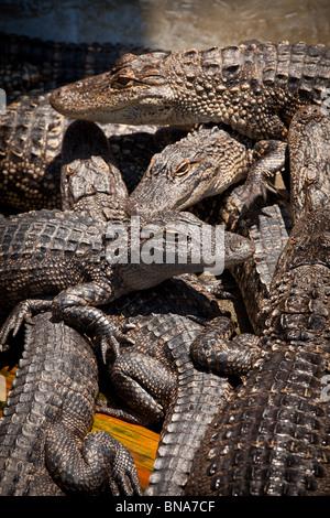 Juvenile American alligators (Alligator mississipiensis) relax on land in Myrtle Beach, SC. - Stock Photo