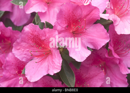 Close up of Pink Hibiscus flowers in Monks Cowl, Giants Castle Game Reserve, KwaZulu-Natal, South Africa - Stock Photo