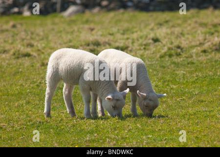 Twin Lambs Dingle Peninsula County Co. Kerry in spring sunshine Republic of Ireland Eire Europe - Stock Photo
