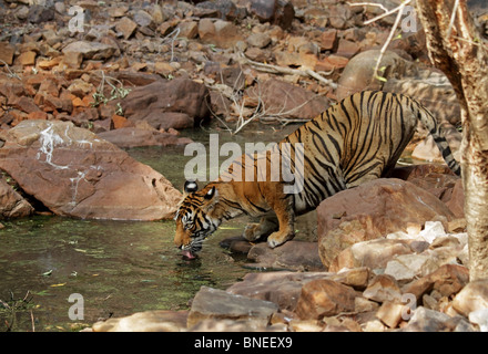 Tiger drinking water from a water hole in Ranthambhore National Park, India - Stock Photo