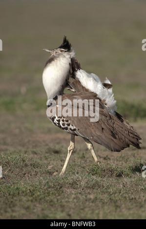 Male Kori Bustard (Ardeotis kori) in courtship display Ndutu in Ngorongoro Tanzania - Stock Photo