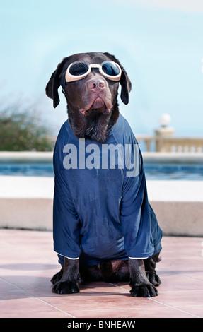 Labrador in Googles and Sun Protective TShirt - Stock Photo