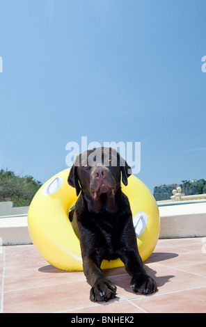 Chocolate Labrador with Rubber Ring by Pool. In Costa Blanca, Spain - Stock Photo