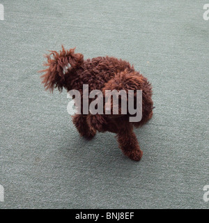 Chocolate brown miniature toy poodle. St Mawes, Cornwall, England. - Stock Photo