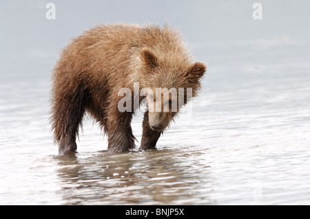 Stock photo of an Alaskan brown bear cub watching for clams at low tide. - Stock Photo