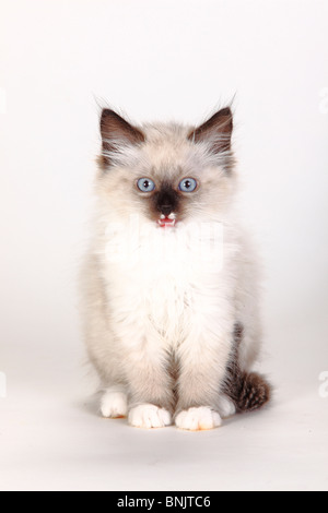 Neva Masquarade, kitten, 8 weeks / Siberian Forest Cat, Siberian Cat, Siberia, Neva Masquerade - Stock Photo