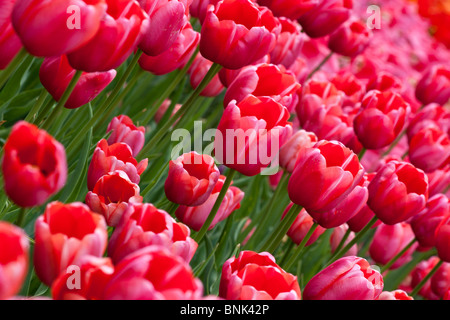 Dutch festival tulip Red Georgette Holland Michigan in USA from above display of the flowers close up fair tulips - Stock Photo
