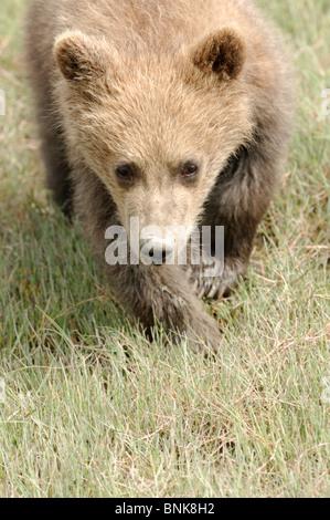 Stock photo closeup image of an Alaskan coastal brown bear cub. - Stock Photo