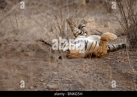 A Bengal Tiger rolling in dry Habitat forest of Ranthambhore, India. ( Panthera Tigris ) - Stock Photo