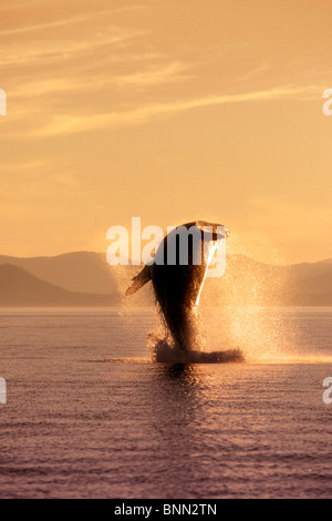 Humpback Whale Breaching in Inside Passage SE AK Summer Backlit - Stock Photo