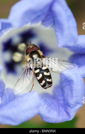 Hoverfly on a  Nicandra Physalodes - Shoo fly flower - Stock Photo