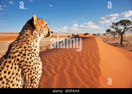 Cheetah (Acinonyx jubatus) with desert landscape in back ground. Namibia. - Stock Photo