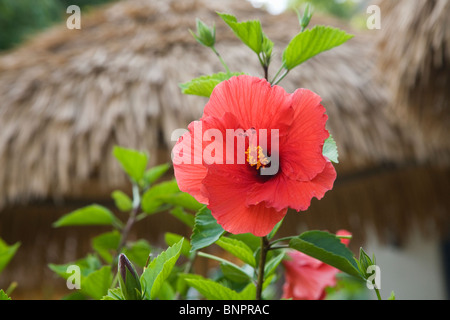 A red hibiscus flower - Stock Photo