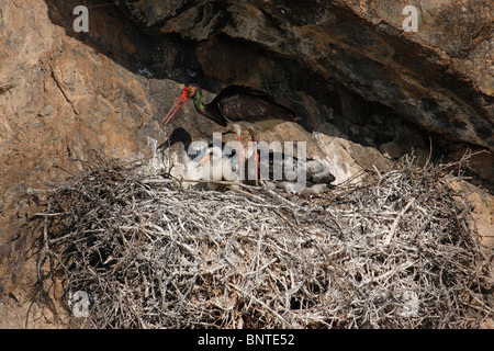 Black Stork (Ciconia nigra), adult with chicks at nest. - Stock Photo