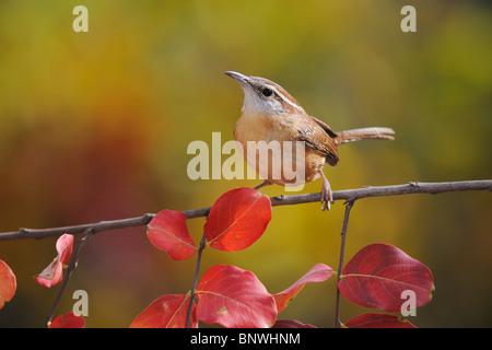 Carolina Wren (Thryothorus ludovicianus), adult on Crape Myrtle (lagerstroemia), New Braunfels, San Antonio, Hill - Stock Photo