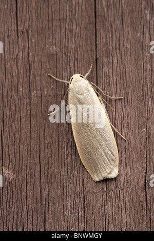 Dingy Footman Eilema griseola adult moth at rest on wooden fence - Stock Photo