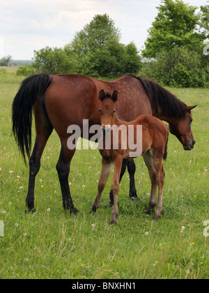Horses grazing on the marshes - Stock Photo