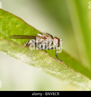Fly on leaf blowing a bubble. Diptera. - Stock Photo