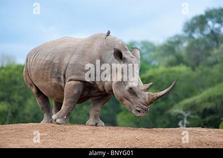 White rhino, Ceratotherium simum, Royal Hlane national park, Swaziland, Africa - Stock Photo