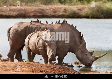White rhinos, Ceratotherium simum, with redbilled oxpeckers,  Royal Hlane national park, Swaziland - Stock Photo