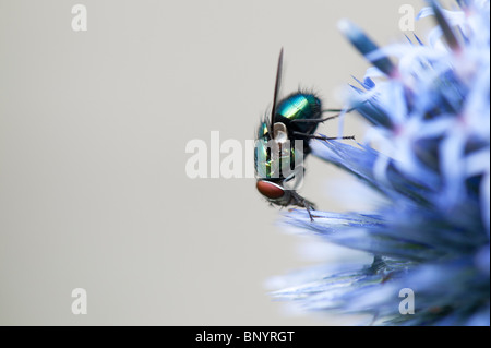 Green-bottle fly on Echinops ritro veitchs (globe thistle) flower - Stock Photo