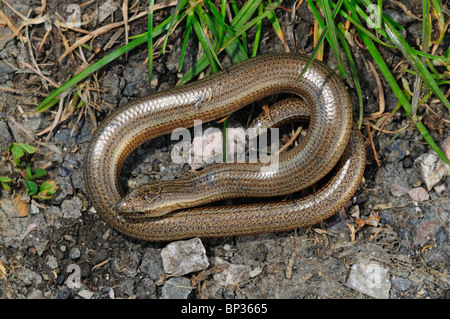 Slow-worm at rest. Dorset, UK April 2010 - Stock Photo