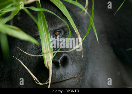 Africa, Uganda, Bwindi Impenetrable National Park, Adult Mountain Gorilla (Gorilla gorilla beringei) in rainforest - Stock Photo
