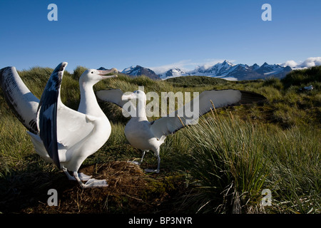 Antarctica, South Georgia Island , Courtship display of Wandering Albatross (Diomedea exulans) on Prion Island - Stock Photo