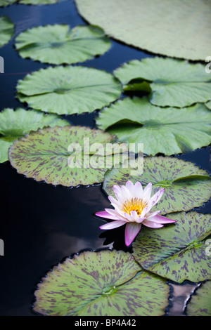 Waterlilies, hardy waterlilies, lotuses, and giant water-platters grow in several large lily ponds at Longwood Gardens - Stock Photo