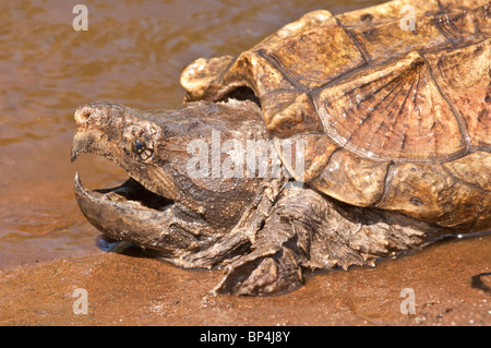 Alligator snapping turtle, Macrochemys temminckii, native to southern US waters - Stock Photo
