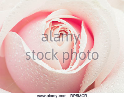 Close up of dew droplets on pink rose - Stock Photo