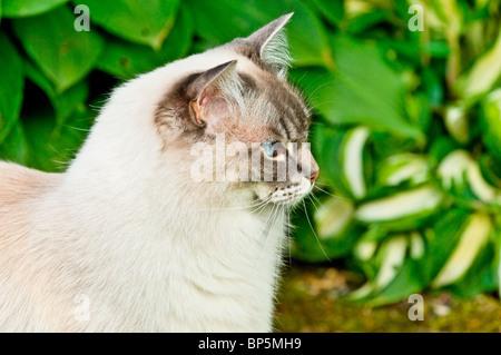 Cats Ragdolls Felis catus - Stock Photo