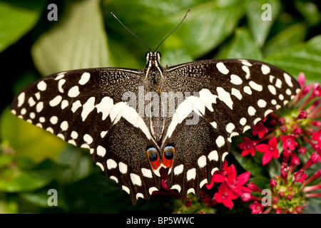 The citrus swallowtail butterfly (Papilio demodocus) - Stock Photo