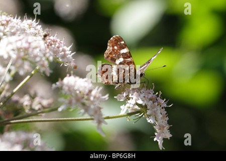 Araschnia levana, the Map Butterfly. This is the summer generation - Stock Photo