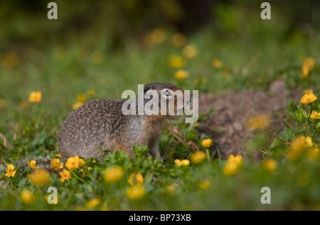 Columbian ground squirrel, Urocitellus columbianus, Rockies, Canada - Stock Photo