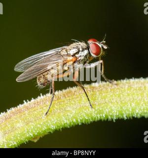 Fly on a Marigold stem. Diptera. Anthomyiidae, Hydrophoria linogrisea - Stock Photo