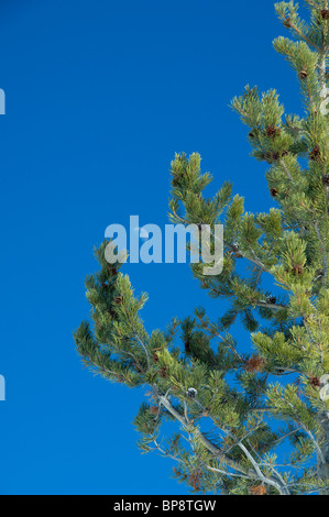USA, Wyoming. Yellowstone National Park. Evergreen tree with pine cones and moon. Winter frost on pine cones. - Stock Photo