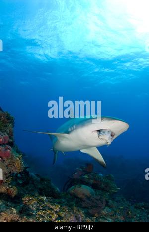 Caribbean Reef Shark swims by in the Bahamas - Stock Photo