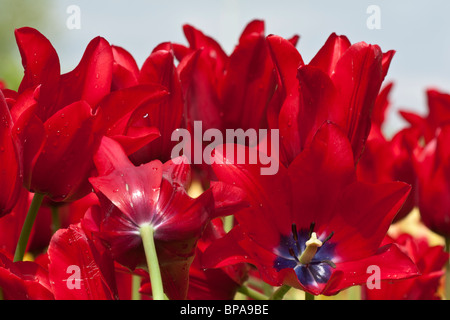 View of festival tulip Holland Michigan in USA display tulips Red Georgette close up closeup show flowers - Stock Photo