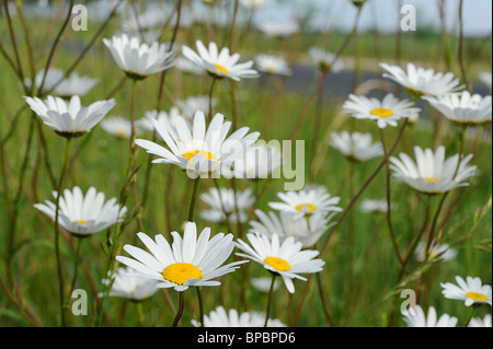 Field of white ox-eye daisy flowers growing in Médoc, Southwest of France - Stock Photo