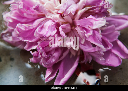 Closeup of pink peony in water. - Stock Photo
