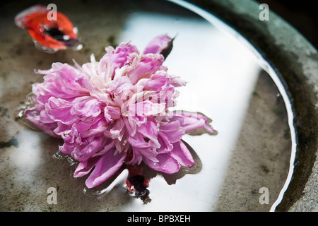Closeup of petals of a pink peony in water - Stock Photo
