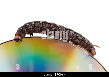 Big black caterpillar climbing by the edge of a compact disk isolated macro on white background - Stock Photo