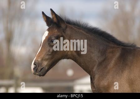 Hanoverian horse - Stock Photo