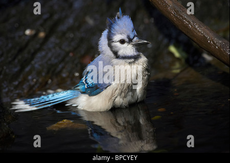 Adult Male Blue Jay Taking a Bath - Stock Photo