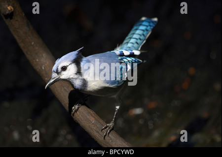 Adult Male Blue Jay Perched on a Limb - Stock Photo