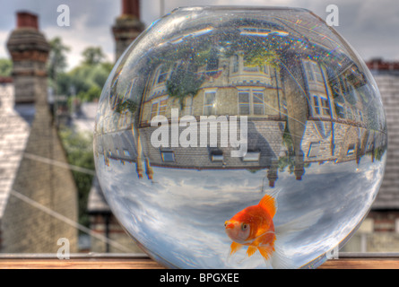 HDR image of a goldfish in a goldfish bowl, overlooking the back streets of Cambridge. - Stock Photo